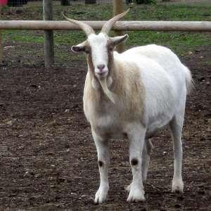 Goats Sean and Wurzel