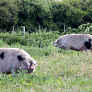 Pigs - Dolores and Levi (Toni)
